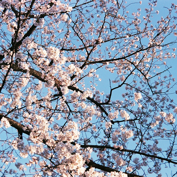 #お花見 しましたか? #フィルム写真 で撮った #桜 は一味違う♡ 愛用のフィルムカメラはこのコ!