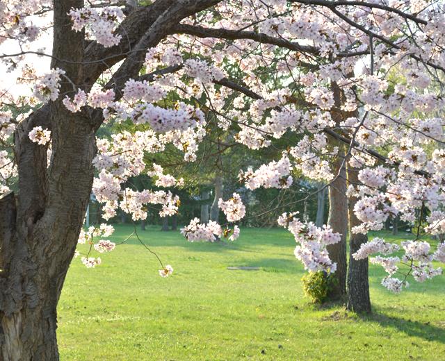北海道の桜と大自然の中で #OOTD QUEEN