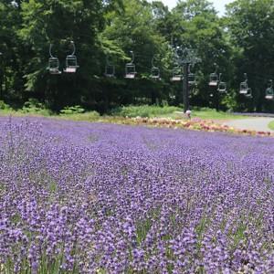 夏休みに行くべき! たんばらラベンダーパークのラベンダー畑が今見頃